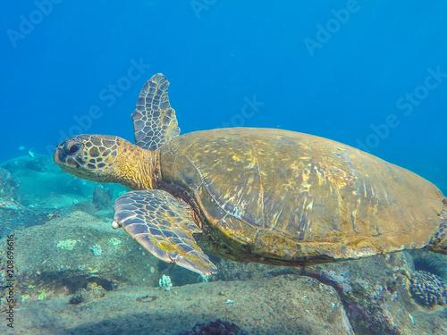 Fotobehang Schildpad Sea Turtle swimming over the reef