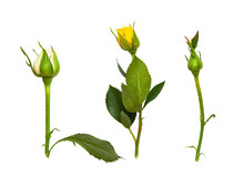 Set Of Rose Buds