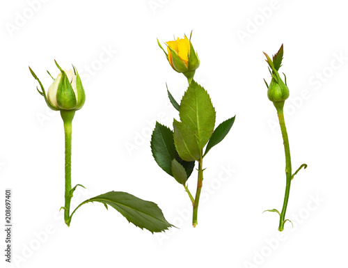 Set of rose buds Canvas Print