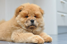 Chow Chow Puppy In The House. ...