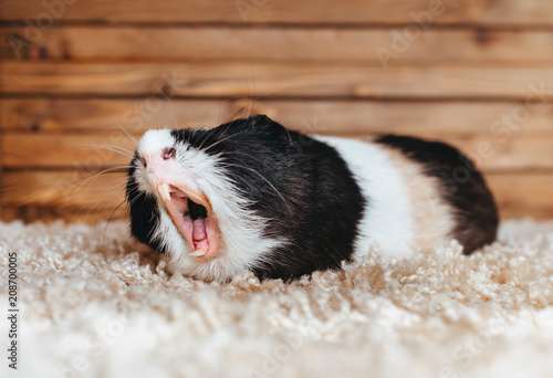 Cuadros en Lienzo Guinea pig yawns and shows her teeth
