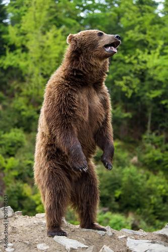 Big brown bear standing on his hind legs