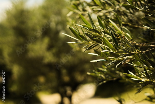Olive tree in Provence, France Canvas Print