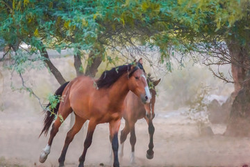 Arizona's wild horses of the salt river are now wild and free to wander the land that has been theirs for generations They walk much of Tonto National Forest vast desert land and the salt river