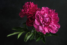 Beautiful Pink Peonies On Dark Background. Floral Still Life. Magenta Peony Flowers