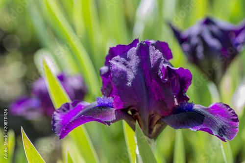 Spoed Foto op Canvas Iris Purple iris blooming close up