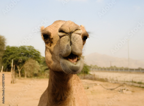 Fotobehang Kameel Portrait of funny camel head, Sharjah, UAE