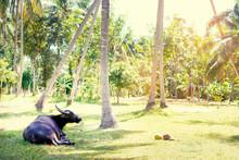 Big Black Bull Lying On Green Grass At Coconut Palm Plantation.