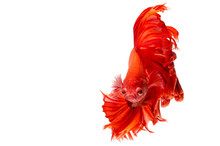 Red Dragon Siamese Fighting Fish Movement Isolated On White Background