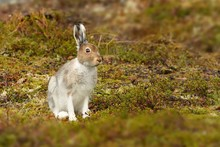 The Mountain Hare From The Nor...