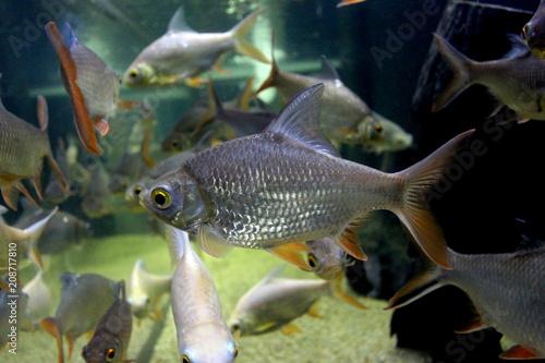 Fotobehang Vissen Fish : Red tailed tinfoil barb (Barbonymus altus)