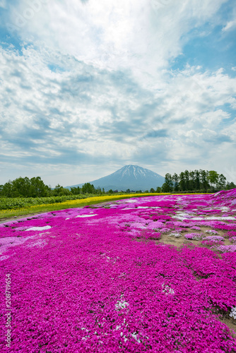 Montage in der Fensternische Lavendel 北海道ニセコの美しい芝桜