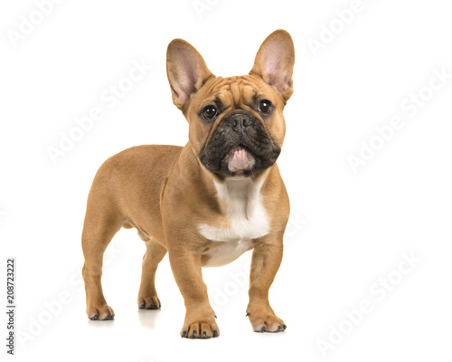 Fotobehang Franse bulldog Brown french bulldog standing looking at camera on a white background