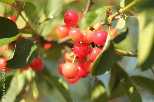 Fotomural almost ripe cherries