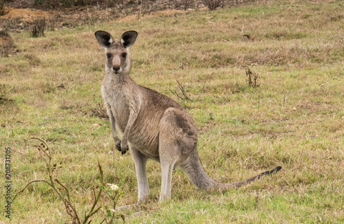 In de dag Kangoeroe Australian native Kangaroo standing in green grass field looking to camera