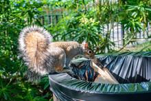 A Grey Squirrel Balances On Th...