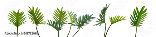 Philodendron xanadu, Tropical leaves set isolated on white background, Green leaves, rainforest plant.