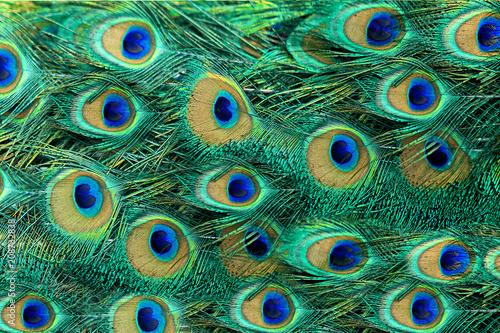 Foto op Aluminium Pauw Beautiful peacock bird tail feathers in close up
