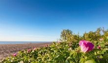 Blooming Wild Roses On The Dun...