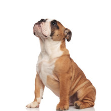 Side View Of Cute English Bulldog Looking Up While Sitting