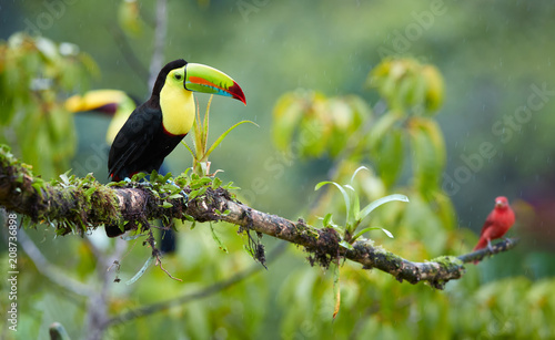 Foto op Plexiglas Toekan Two tropical birds with enormous beak, Keel-billed toucan, Ramphastos sulfuratus, perched on a mossy branch in the rain together with scarlet tanager. Costa Rican colorful toucan,wildlife photography.