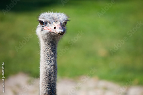 Fotobehang Struisvogel The head and long neck of an ostrich