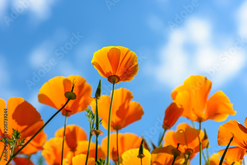 Fototapeten Natur California Poppies reach out for the sky