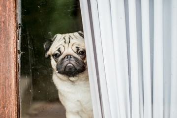 Dog Pug breed waiting owner at the door and looking outside feeling so lonely