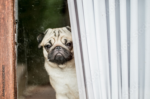 Dog Pug breed waiting owner at the door and looking outside feeling so lonely Tablou Canvas