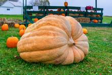 Giant Pumpkin On The Farm