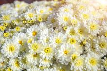 Beautiful White Chrysanthemum ...