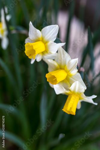 Papiers peints Narcisse 水仙の花