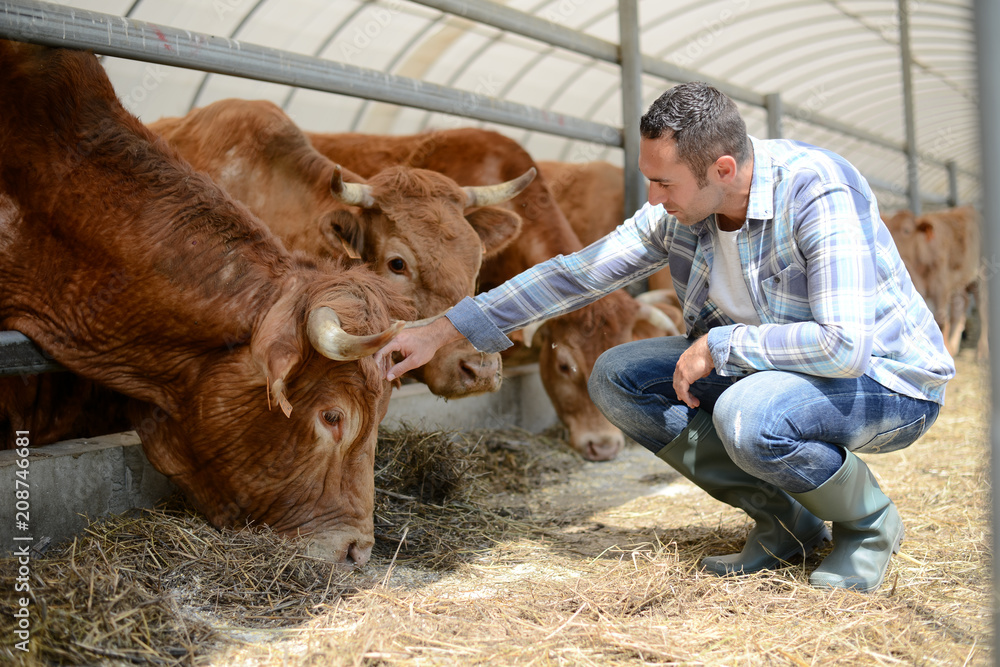 Fototapeta portrait of handsome farmer in a livestock small breeding husbandry farming production taking care of charolais cow and cattle