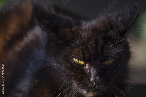 the evil look of a black wild cat Poster