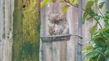 A Baby Grey Squirrel Eating Nu...