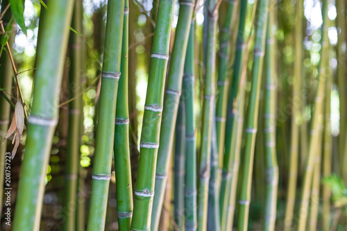 Detail of bamboo stem in plant forest