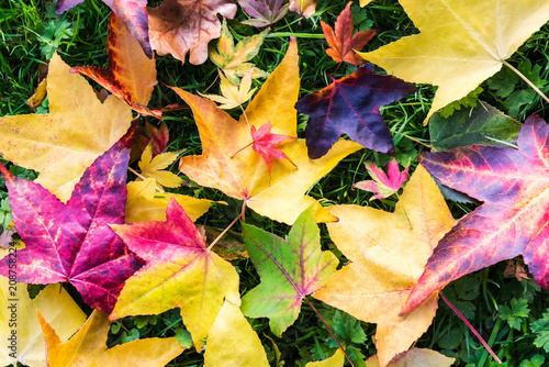 Foto auf AluDibond Melone Bright Colorful Leaves from Maple Trees lying on the grass