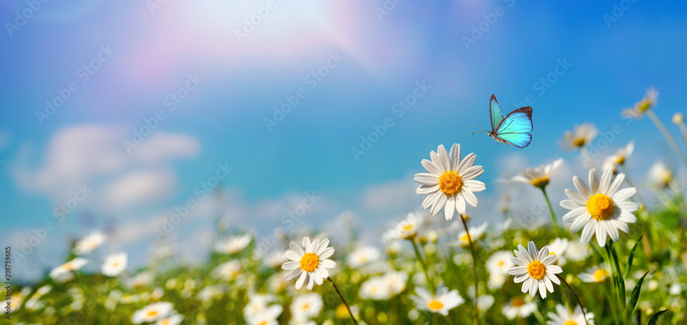 Fototapeta Chamomiles daisies macro in summer spring field on background blue sky with sunshine and a flying butterfly , panoramic view. Summer natural landscape with copy space.