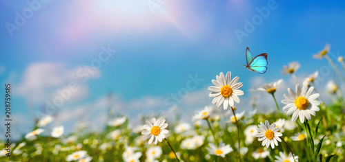Marguerites Chamomiles daisies macro in summer spring field on background blue sky with sunshine and a flying butterfly , panoramic view. Summer natural landscape with copy space.