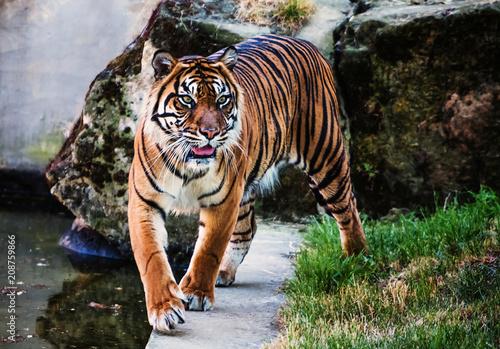 Foto op Aluminium Tijger Sumatran tiger