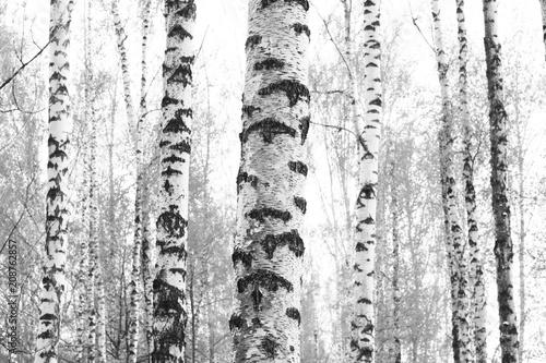 czarno-białe zdjęcie z białymi brzozami z kory brzozy w brzozowym gaju wśród innych brzóz
