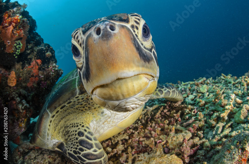Deurstickers Schildpad Green Turtle