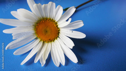 Foto op Canvas Madeliefjes Beautiful Daisy on blue background.Greeting card.