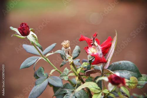 Valokuva  worm roses and plant diseases
