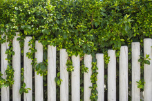 White Fence And Green Natural Fence