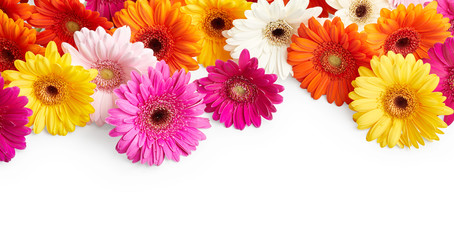 Gerbera flowers isolated on white background