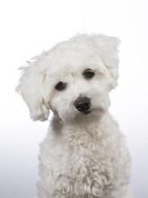 Coton De Tulear Puppy Portrait...