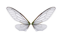 A Pair Of Cicada Wings Isolate...