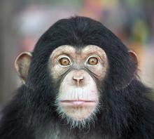 Chimpanzee Funny.