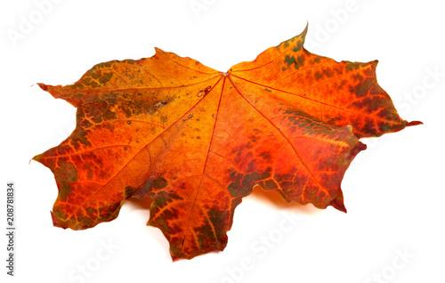 Red autumn maple-leaf